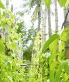 Trầu Gia Cát thơm ngát hương quê