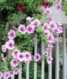 Hàng rào dây hoa xinh xắn cho ngôi nhà của bạn