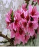 Mẹo chọn hoa đào may mắn cho ngày Tết