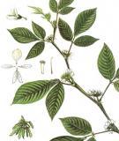 Bài thuốc chữa bệnh từ đậu bạc đầu