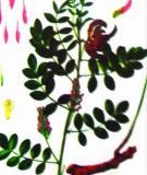 Công dụng chữa bệnh của cây quýt gai