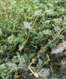 Bài thuốc chữa bệnh từ cỏ sữa