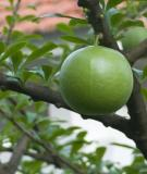 Công dụng chữa bệnh từ quả đào tiên