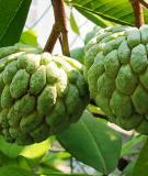 Bài thuốc trị bệnh từ cây na