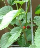 Bài thuốc từ con sâu sống trên cây dâu tằm