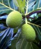 Bài thuốc trị bệnh từ cây sa kê