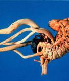 Đông trùng Hạ thảo – Một vị thuốc quý hiếm