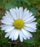 Các loài hoa giúp trị ho hiệu quả
