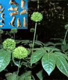 Bài thuốc chữa bệnh từ cây tam thất