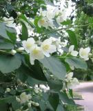 Vị thuốc tuyệt vời từ hoa nhài