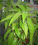 Công dụng của cây hoàn ngọc với bệnh ung thư