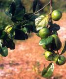 Bài thuốc chữa bệnh từ cây quýt gai