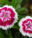 Bài thuốc chữa bệnh từ hoa cẩm chướng
