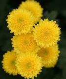 Các loại hoa cúc chữa bệnh
