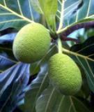 Bài thuốc chữa bệnh từ cây sa kê