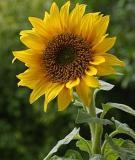 Bài thuốc chữa bệnh từ hoa hướng dương