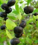 Bài thuốc chữa bệnh từ cây phèn đen