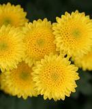 Bài thuốc chữa bệnh từ hoa cúc vàng