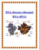 RNA riboxom (ribosomal RNA-rRNA)