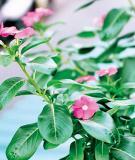 Bài thuốc chữa bệnh từ cây dừa cạn
