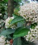 Bài thuốc chữa bệnh từ cây bông trang