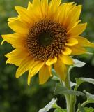 Hoa hướng dương trị bệnh huyết áp, đau đầu