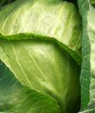Giảm đau khớp bằng bắp cải xanh