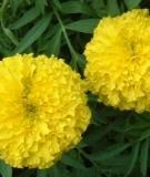 Giải tỏa ưu phiền bằng hoa vạn thọ
