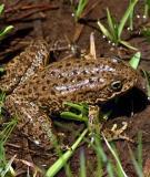 Những bệnh thường gặp ở ếch