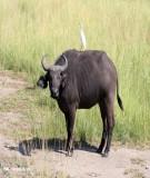 Giáo trình Chăn nuôi trâu bò (ĐH Nông nghiệp I HN) - Chương 5