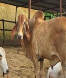 Giáo trình Chăn nuôi trâu bò (ĐH Nông nghiệp I HN) - Chương 1
