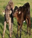 Biện pháp phòng chống Bệnh tụ huyết trùng ở Trâu bò (Pasteurellosis bovium) tại Lâm Đồng