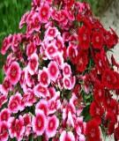 Kỹ thật trồng và chăm sóc hoa Cẩm nhung