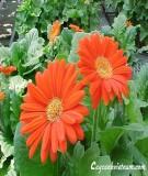 Hướng dẫn trồng và chăm sóc hoa đồng tiền