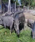Tài liệu: Kỹ thuật nuôi heo rừng thuần chủng