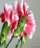 Tài liệu: Kỹ thuật trồng hoa cẩm chướng