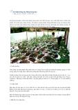 Kỹ thuật trồng cây gừng và trồng bầu