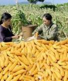 Hướng dẫn kỹ thuật sản xuất hạt giống bắp lai
