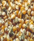 Báo cáo đề tài: Phương pháp phân tích Aflatoxin