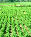 Kỹ thuật trồng rau xen canh đậu tương - Viện Khoa học Nông nghiệp Việt Nam