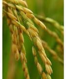 Cơ sở di truyền tính chống chịu đối với thiệt hại do môi trường của cây lúa: Phần 1 - Bùi Chí Bửu, Nguyễn Thị Lang