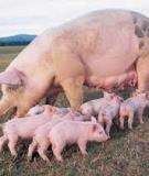 Nhà chăn nuôi cần biết bệnh tai xanh - bệnh bí hiểm ở heo