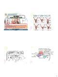 Bài giảng Sinh sản vật nuôi: Sinh lý sinh dục cái - Phan Vũ Hải