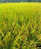 Kỹ thuật Trồng và chăm sóc cây lúa