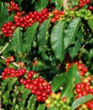 Quy trình Tái canh cây cà phê vối