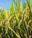 Báo cáo khoa học: Ứng dụng công nghệ OLAP trong khai thác số liệu dịch hại trên lúa tại Trà Vinh