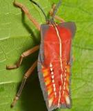 Tesaratoma papillosa