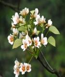 Đề tài nghiên cứu khoa học: Đặc điểm giải phẩu sinh lý loài Trẩu ( Vernicia montana Lour) tại khu vực Núi Luốt, Đại học Lâm nghiệp