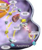 Apoptosis - Sự chết tế bào