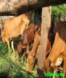 Sản xuất thức ăn cho trâu bò trong vụ Đông